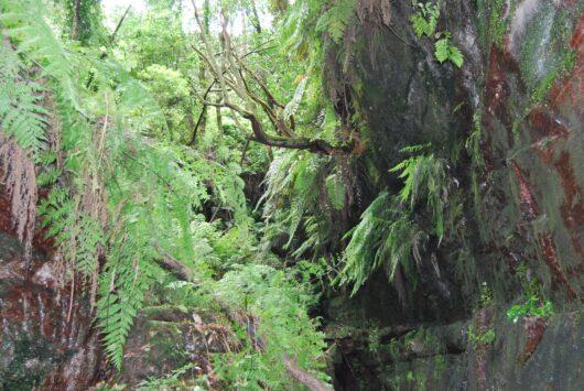 Het laurierbos op La Palma