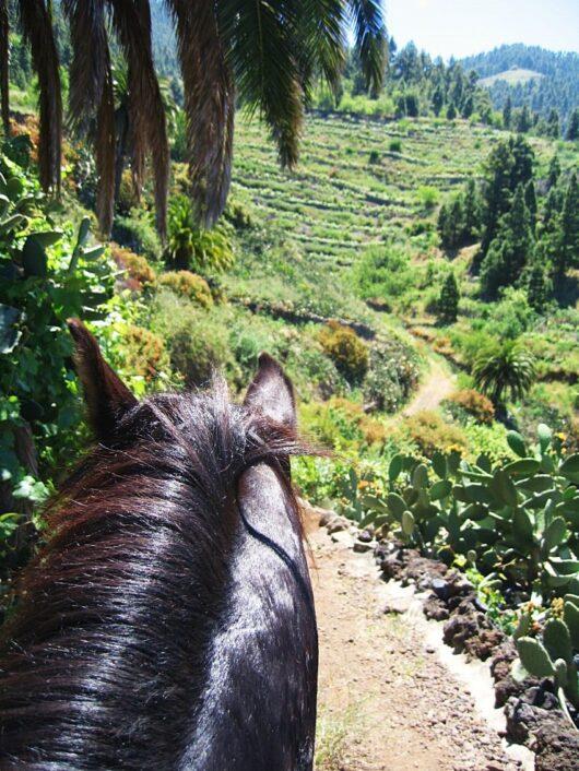 IJslandse paarden op La Palma.